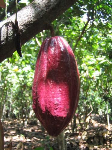Die Kakaofrucht ist zum begehrten Spekulationsobjekt geworden. Foto: Fairtrade Österreich/Philipp Gogg