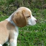 Beagles haben besonders feine Spürnasen (c) Ursula Hummel